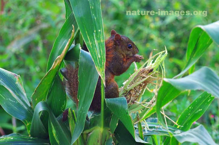 Red-tailed squirrel eating corn