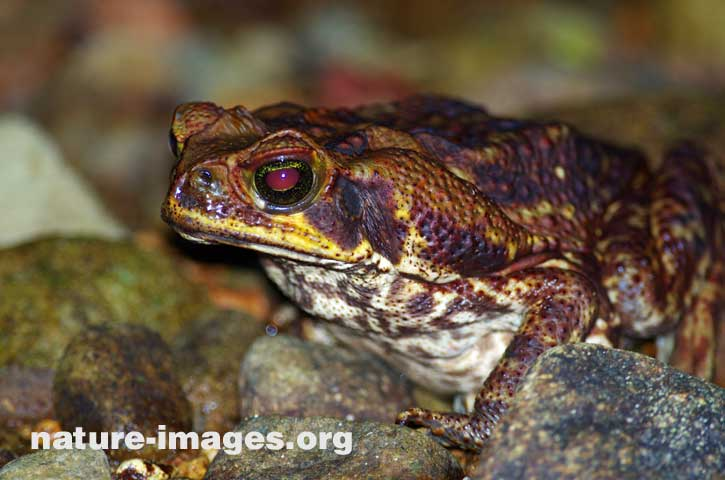 Toad image taken in the Rainforest of Panama