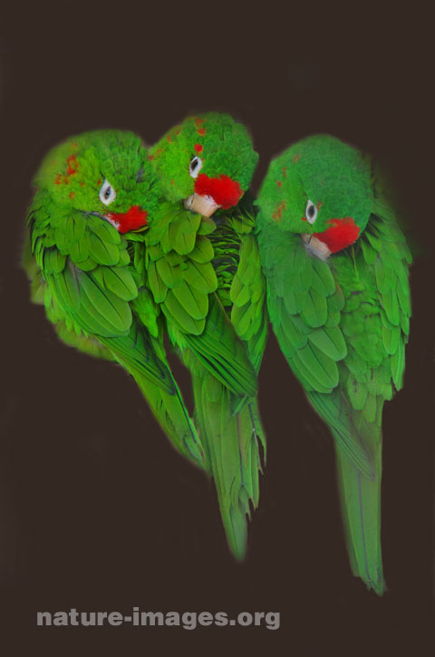 Red Fronted Parrotlet
