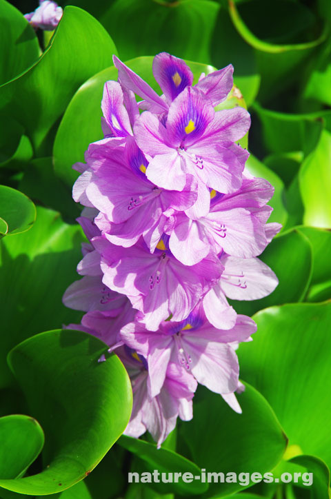 Water Hyacinth Flower