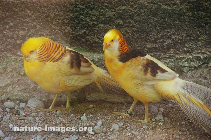 Golden pheasant or Chinese pheasant