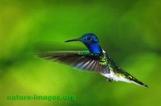 White Necked Jacobin Hummingbird in flight image taken in Panama