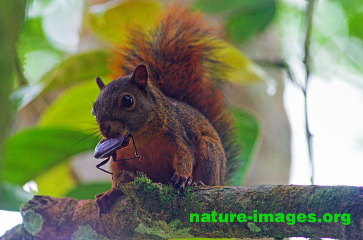 Red-tailed squirrel eating insect