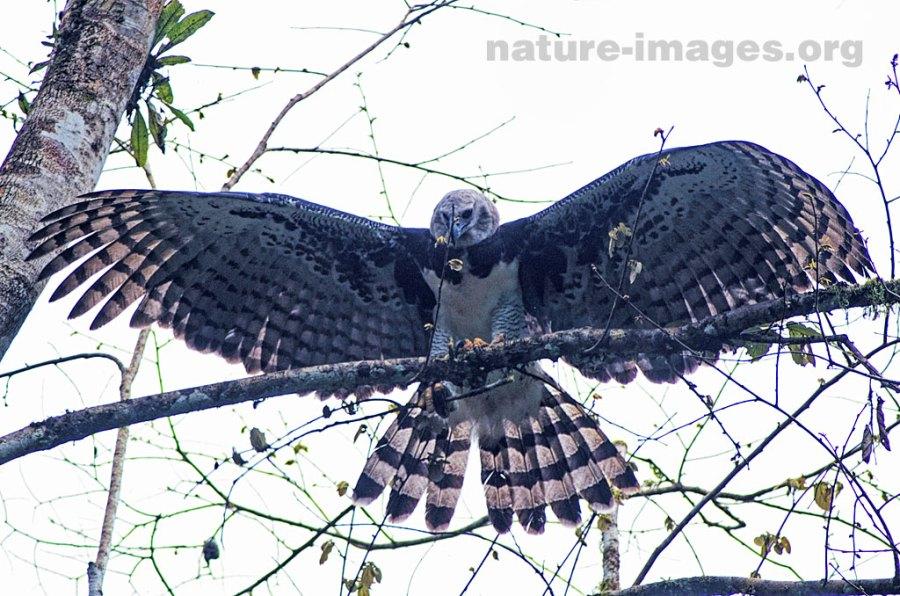 Harpy Eagle Open Wings