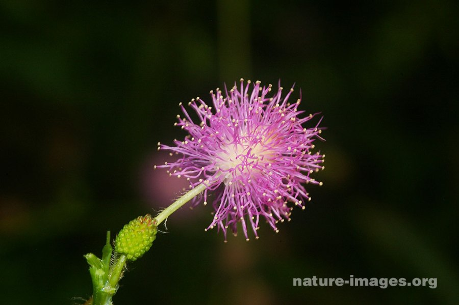 Mimosa Pudica Flower