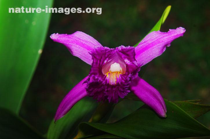 Sobralia Orchid