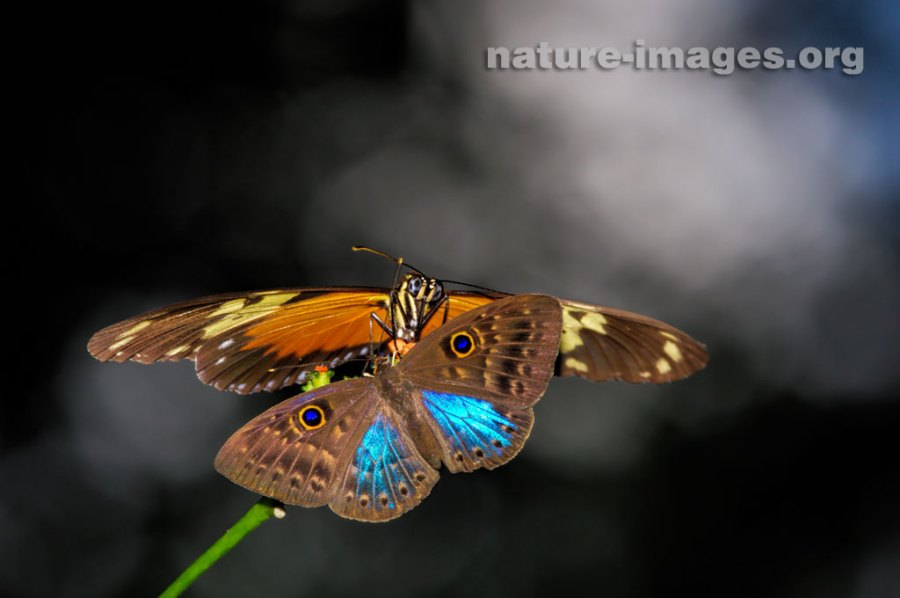 Eurybia Butterfly and a Heliconius Butterfly