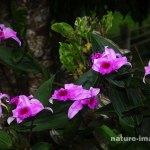 Pink Sobralia Decora Orchids