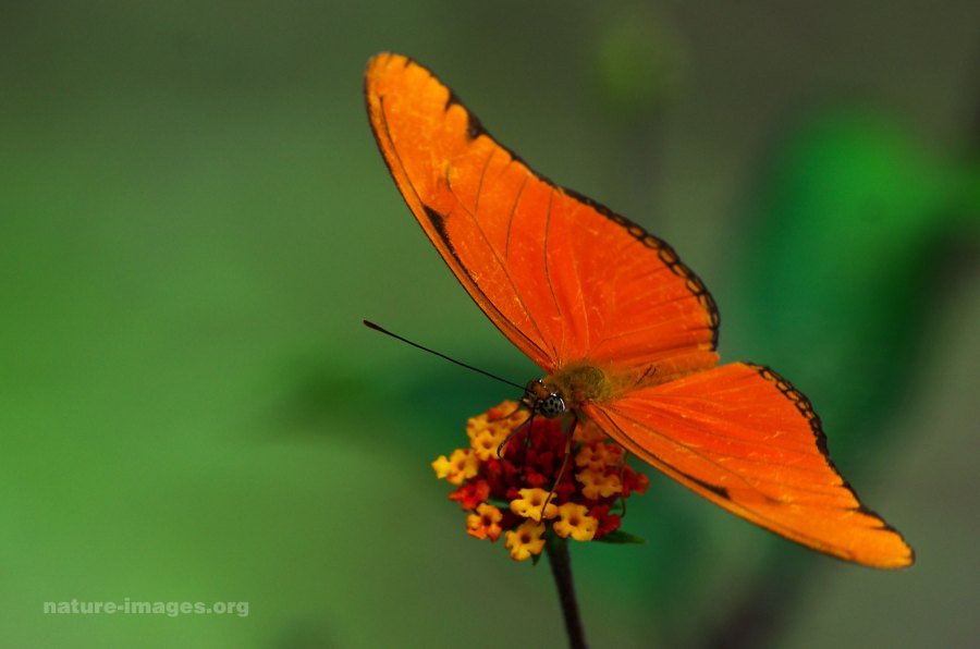 Dryas iulia - Orange Julia
