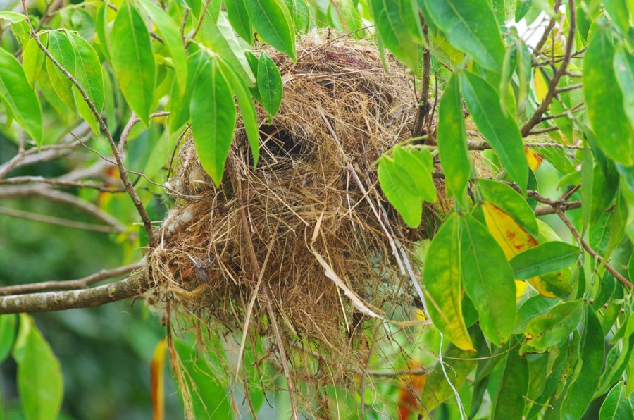 Flycatcher building nest