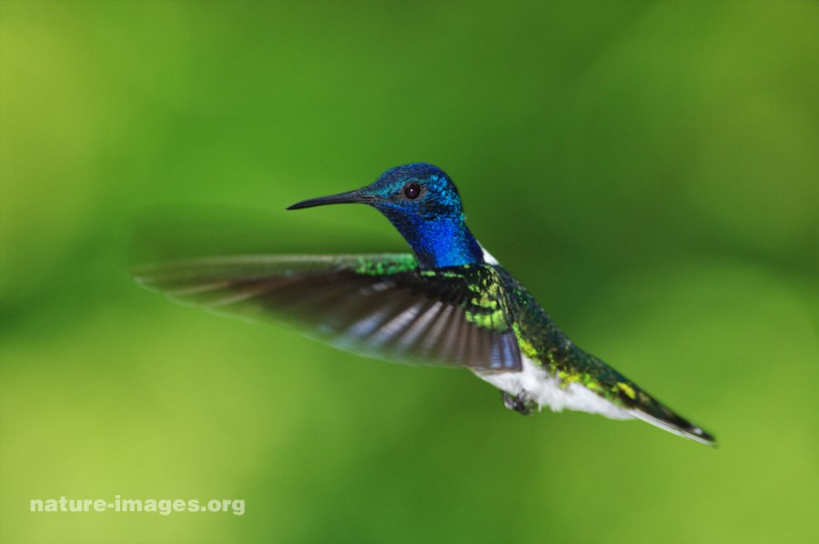 White Necked Jacobin Hummingbird
