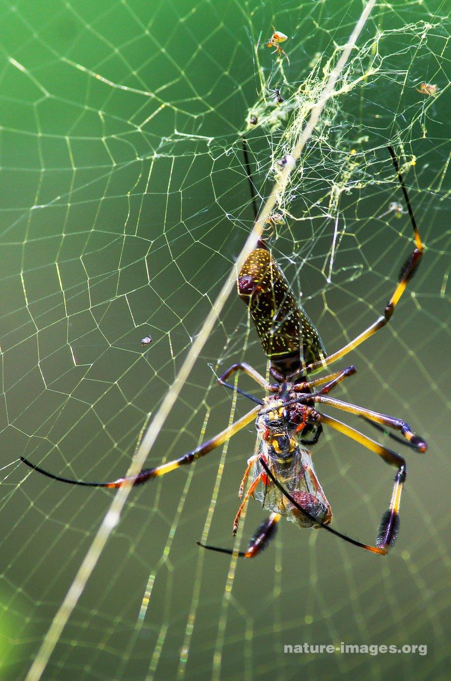 Golden silk orb-weaver with prey