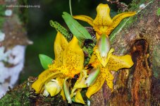 Ward's Stanhopea Orchids