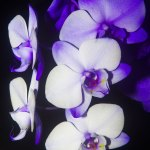 White and Blue Orchid