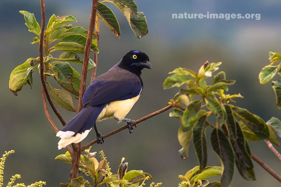 Black Chested Jay