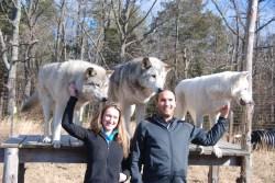 Small Of Wolf Hybrid Dog