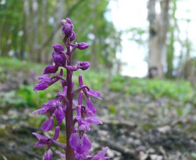 Early-purple Orchid, Cowes