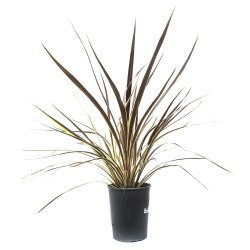 Small Crop Of Cordyline Electric Pink