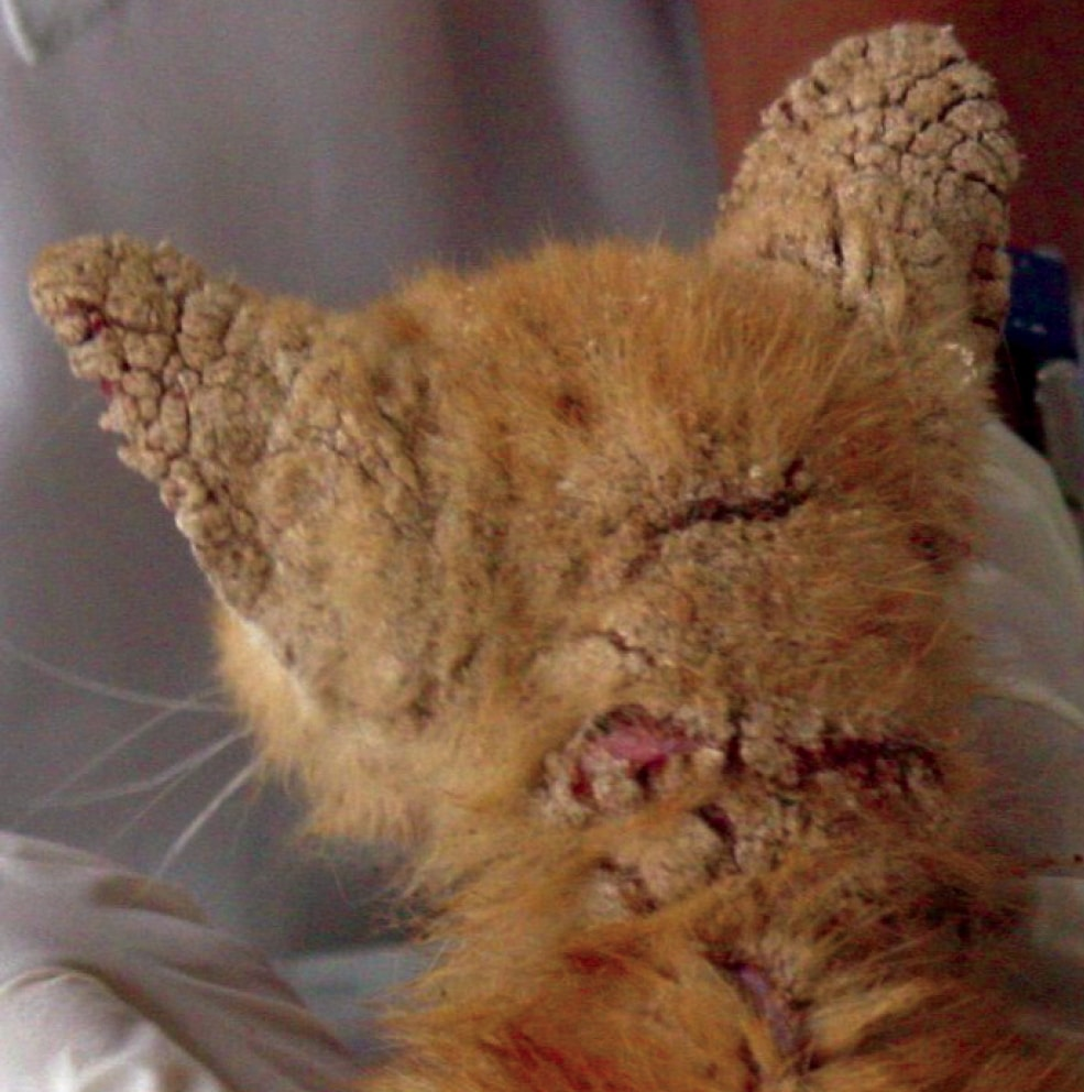Picture Cats Uk Feline Mites Veterinary Nurse Ivermectin Figure Kitten Severe Crusted Lesions On Ears Neck Due Tonotoedres Taking Bite Out Cats Dosage Ivermectin houzz-03 Ivermectin For Cats