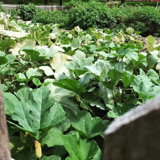 NCCs community garden is full of latesummer healthiness The gardenhellip
