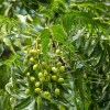 neem-fruit