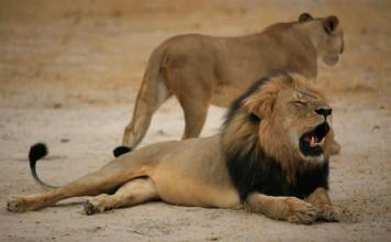 """Much-loved Zimbabwean lion """"Cecil"""", pictured on October 21, 2012, was lured outside the Hwange National Park boundaries by bait and shot by a bow and arrow (AFP Photo/)"""