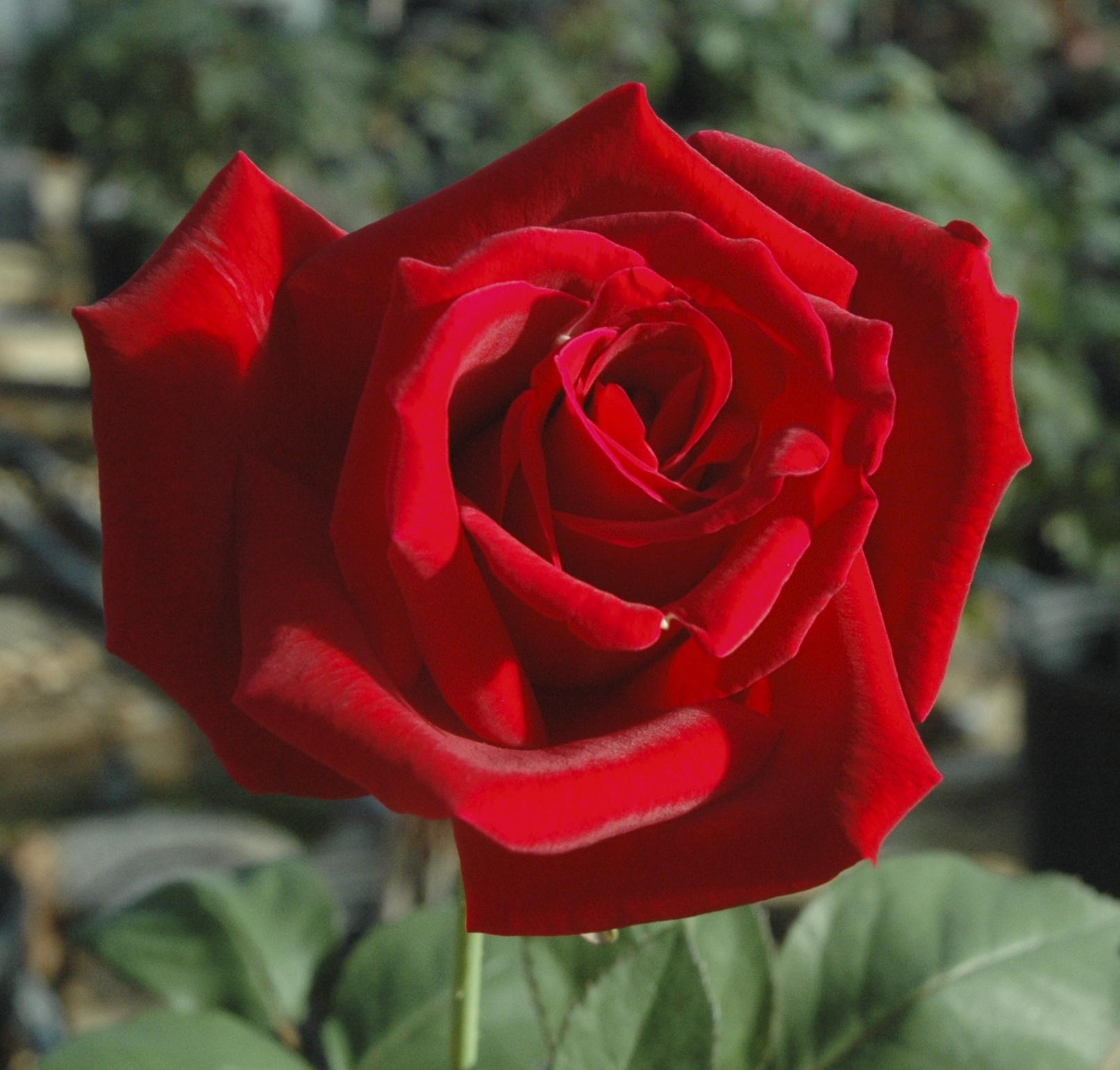 Relieving Red Hybrid Tea Lincoln Red Florida Roses Chrysler Imperial Rose Images Chrysler Imperial Rose Size houzz-03 Chrysler Imperial Rose