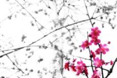 梅の写真素材