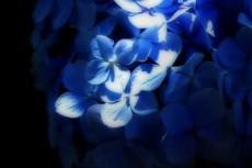 一筋の光に照らされた紫陽花(アジサイ)