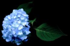 暗闇に咲く鮮やかな紫陽花(アジサイ)