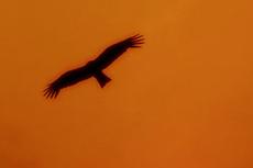赤い空を飛ぶトンビと夕陽