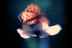 コスモスと蝶を照らす一筋の光