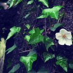【高解像度】木の幹に咲く一輪の桜(3パターン)