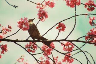 【高解像度】レトロな雰囲気の桜とヒヨドリ(3パターン)