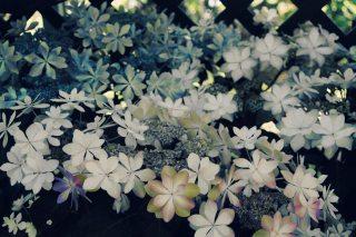 【高解像度】咲き乱れる紫陽花(アジサイ)(3パターン)