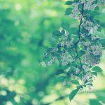 【高解像度】森の中のエゴノキ(3パターン)