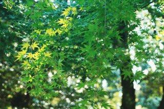 【高解像度】青紅葉とキラキラ光る木漏れ日(3パターン)