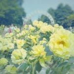 【高解像度】代々木公園の黄色い薔薇