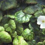 【高解像度】白い小さい花