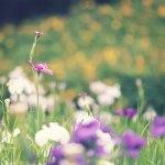 【高解像度】花菖蒲と金糸梅の花畑(3パターン)