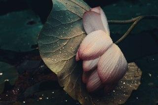 【高解像度】横たわる蓮の花(3パターン)