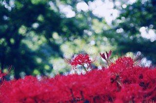 【高解像度】光溢れる彼岸花畑(3パターン)