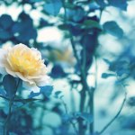 【高解像度】一輪の黄色い薔薇(バラ)(3パターン)