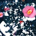 【高解像度】ピンク色の椿(ツバキ)(3パターン)