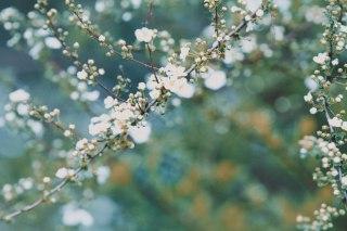 【高解像度】蕾を付けた雪柳(ユキヤナギ)(3パターン)
