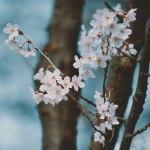 【高解像度】冷たい雰囲気の桜(3パターン)
