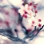 【高解像度】咲き残る寒桜(カンザクラ)(3パターン)