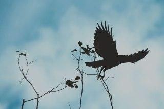 【高解像度】枯れ木から飛び立つカラス(3パターン)
