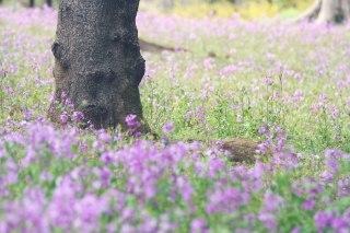【高解像度】ムサラキハナナの花畑(3パターン)
