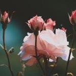 【高解像度】囲まれた薔薇(バラ)(3パターン)